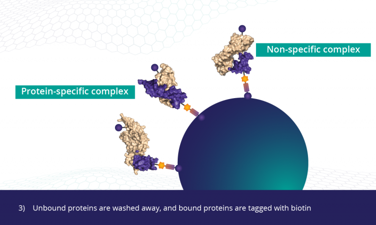 3) Unbound proteins are washed away, and bound proteins are tagged with biotin